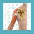 درد جلو شانه ناشی از آسیب، پارگی و التهاب تاندون عضله دوسربازویی (عضله بای سپس-Biceps)